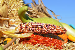 Indian Corn Display Royalty Free Stock Photography