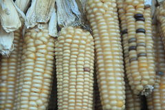 Indian Corn. Stock Images