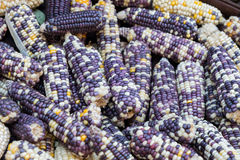Indian corn dry yellow purple pile Stock Photography