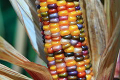 Indian corn ear Stock Photo