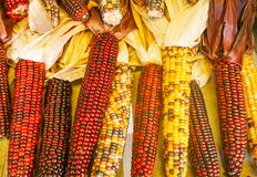 Indian Corn. Ears of colorful indian corn displayed on a tabletop Stock Photo