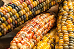 Indian Corn or Flint Corn Close Up Stock Images