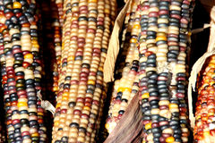 Indian Corn, Flint Corn, Zea mays var. indurata Royalty Free Stock Photo