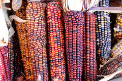 Indian Corn, Flint Corn, Zea mays var. indurata Stock Photo
