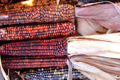 Indian Corn, Flint Corn, Zea mays var. indurata Royalty Free Stock Image