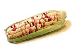 Indian corn. Or flint corn (Zea mays indurata)  on a white background Royalty Free Stock Images