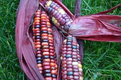 Indian corn on grass. Stunning colors of Indian Corn, aka Jewel Corn, with red husks on a grassy background. The farmer is a 7-year-old boy living in Boise Stock Photo