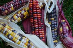 Indian corn on grass. Stunning colors of Indian Corn, aka Jewel Corn, with red husks on a grassy background. The farmer is a 7-year-old boy living in Boise stock images