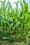 Indian corn grows at the field Royalty Free Stock Images