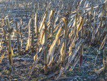 Indian corn after harvest at the field Stock Photography