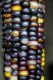 Indian Corn III. Indian Corn, one of the most popular fall decorations in the USA Royalty Free Stock Photo