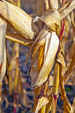 Indian Corn In Detail Royalty Free Stock Image