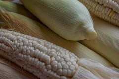 Indian corn, maize ear or corn farm part 35 royalty free stock photo