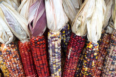 Indian Corn. Multi colored corn Royalty Free Stock Photo