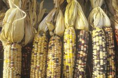 Indian Corn, New Jersey Royalty Free Stock Image
