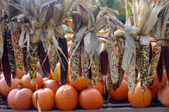Indian corn with pumpkins Stock Image