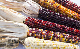Indian Corn Stock Photography