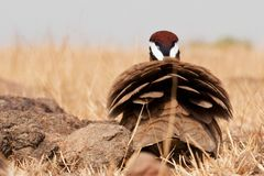 Indian courser royalty free stock photography