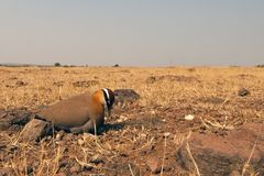 Indian courser Royalty Free Stock Photo