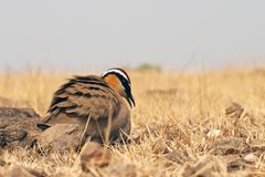 Indian courser Royalty Free Stock Images
