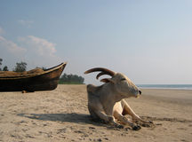 Indian cow. Indian sacred cow on the wild Goa's beach stock image