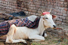 Indian cow Stock Photos