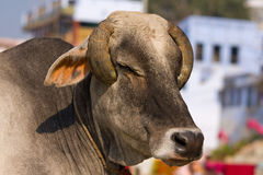 Indian cow Royalty Free Stock Photography