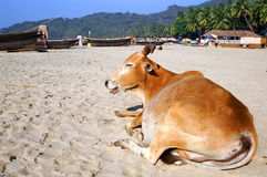 Indian cow. At the Palolem beach, Goa state, India Royalty Free Stock Images