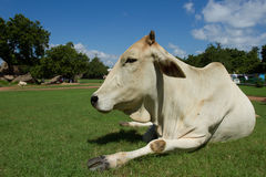 Indian cow. Cow. Happy Cow. White cow. White cow resting on a green lawn. White clouds float across the blue sky Stock Photos