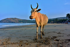 Indian cow Royalty Free Stock Images
