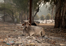 Indian cow eating garbage Stock Photography