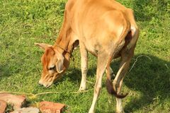 Indian cow eating green grass under daylight.
