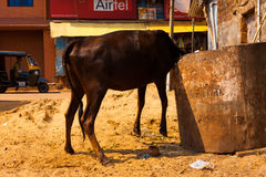 Indian Cow Eating Trash Dumpster Body Lifted Stock Photography