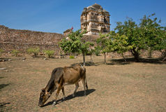 Indian cow grazes on background of the temple Stock Images