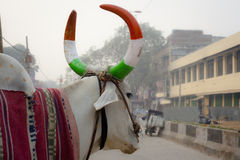 Indian cow with horns Stock Images