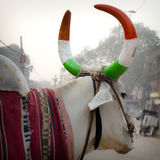 Indian cow with horns Royalty Free Stock Images