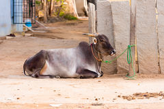 Indian cow lies on the ground, Puttaparthi, Andhra Pradesh, India. Copy space for text. Royalty Free Stock Images