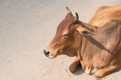 The Indian cow lying Stock Photo