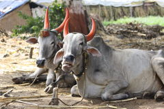 Indian cow Royalty Free Stock Photo