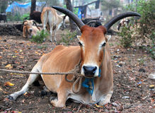 Indian cow resting on the ground Stock Photography