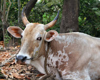 Indian cow resting on the ground Stock Images