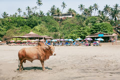 Indian cow standing past palm village in Goa. Asian scene. Stock Photo