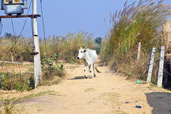 Indian cow walking along a trail Stock Images