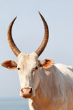 Indian cow Royalty Free Stock Photos