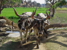 Indian Cows drawing water from a well. In the southern hills of the Aravalli Mountains the watering of the fields is still done by cows or by oxen. They draw the Stock Images