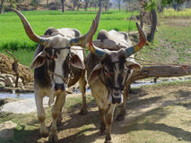 Indian Cows drawing water from a well. In the southern hills of the Aravalli Mountains the watering of the fields is still done by cows or by oxen. They draw the Stock Photos