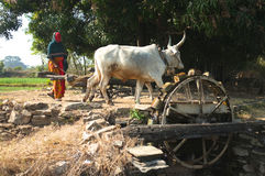 Indian Cows drawing water from a well. In the southern hills of the Aravalli Mountains the watering of the fields is still done by cows or by oxen. They draw the Royalty Free Stock Image