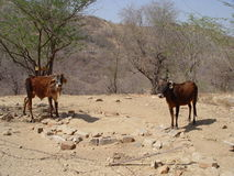 Indian cows in dry season. Each cow has its owner Royalty Free Stock Photography