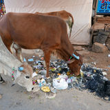 Indian cows eating garbage. Stock Photo