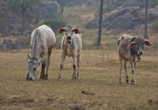 Indian cows graze Royalty Free Stock Photography